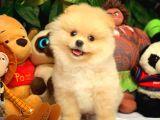 Aşırı Sempatik Ve Yakışıklı Pomeranian Boo Oğlumuz RAGGİ