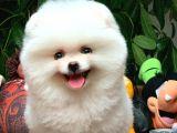Ayı Surat Pomeranian Boo kızımız CİNDY