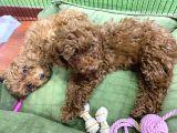 4.5 aylık dişi poodle red brown yavrularımız orjinal safkan hızlı olan kazanır