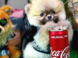 Pomeranian boo safkan oğlumuz BADEM / Yavrupatiler