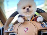 Yeni Gelen Safkan Pomeranian Boo Yavrularımızdan/ İnstagram: pomeranianboodunyasi_