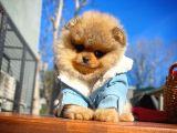 Gülenyüz Pomeranian Boo yavrumuz