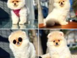 Mini Boy Teddy Face Pomeranian Boo Yavrumuz