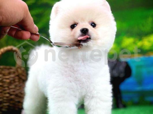 Mini Boy Pomeranian Boo Yavrumuz Carlos