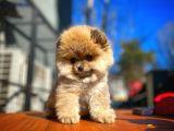 Oyuncu sevimli Pomeranian Boo yavrumuz
