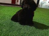 Orijinal black poodle yavrumuz