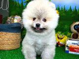 Ender renkte ve güzellikte Pomeranian Boo yavrumuz
