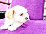 Safkan Maltese Terrier Yavrular
