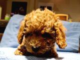 2.5 Aylik Pasaportlu Red Poodle