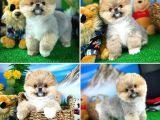 En Şirininden Pomeranian Boo yavrumuz