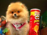 Sağlık garantili Şirin Pomeranian Boo yavrumuz