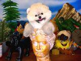 Eğlenceli oyuncu Pomeranian Boo yavrumuz