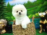 Kar Beyazı PomeranianBoo Yavrularımızdan/ İnstagram: pomeranianboodunyasi_