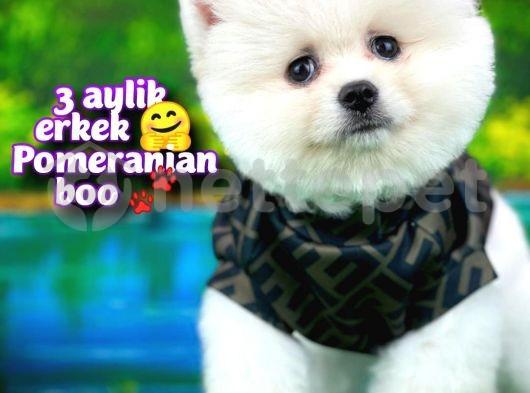Ayı surat TeddyBear Pomeranian Boo Oğlumuz RUBBY /Yavrupartiler