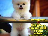 Ayı surat safkan Pomeranian BooOğlumuz TOPİTO / Yavrupartiler