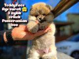 Ayı Surat Teddybear / Pomeranian Boo Oğlumuz PODO / Yavrupatiler