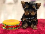 Safkan mini yorkshire terrier erkek yavru @catboyssss da