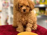 Safkan red toy poodle erkek yavru @catboyssss da