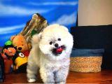 Ayı surat TeddyBear Pomeranian Boo Oğlumuz MUSKY /Yavrupartiler