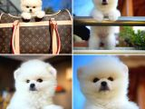Pomeranian Boo Tatlılığı