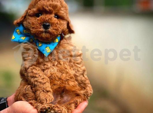 Muhteşem surat Ve tüy yapısına sahip mini boy toy poodle yavrumuz