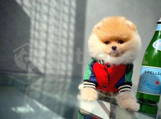 Gülen Surat Yakışıklı Pomeranian Boo Oğlumuz ROCKY