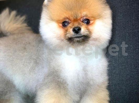 Şahane güzellikte Pomeranian Boo yavrumuz