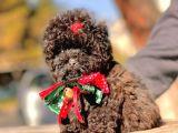 Çikolata Teacup Toy Poodle Yavrumuz