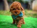 Cezbedici Güzellikte Red Toy Poodle yavrumuz