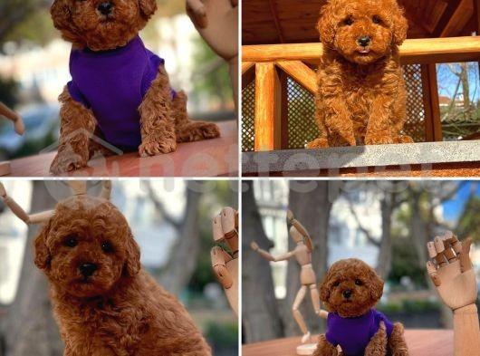 Mini Boy Teacup Toy Poodle Yavrumuz
