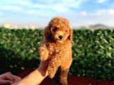 Sevimli Red Brown Toy Poodle yavrularımız