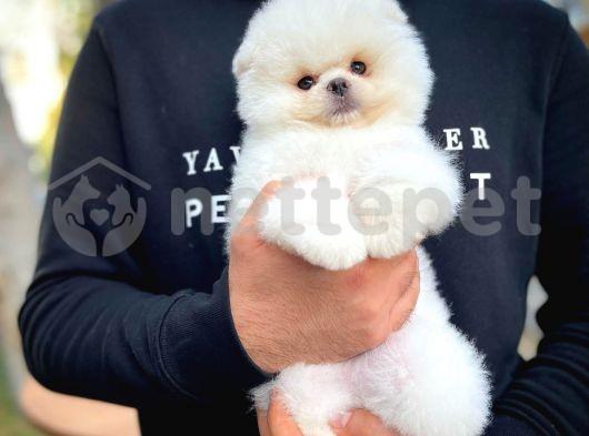 Sevgilinize Değer Pomeranian Boo yavrumuz