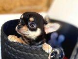 Chihuahua yavru köpek
