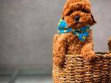Sevgililer günü hediyeniz güzeller güzeli Toy Poodle yavrumuz