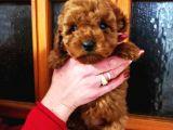 AB pasaportlu mikroçipli ırk ve sağlık garantili toy poodle yavrular
