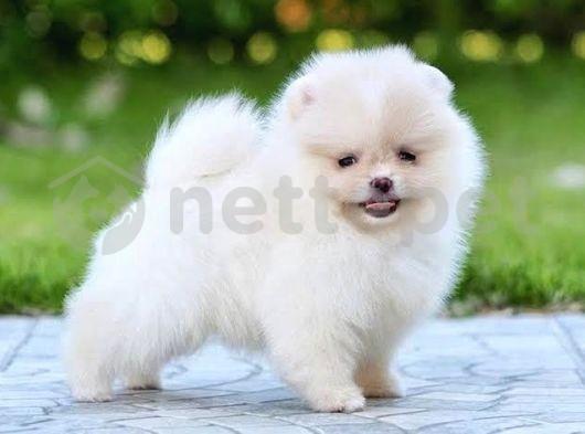 Aşırı Sevimli Oyuncu Pomeranian Boo Yavrularımız