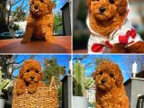 Sevdiğinize Özel Red Toy Poodle yavrumuz