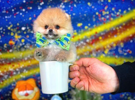 Tcup Pomeranian Boo Oğlumuz MARİO