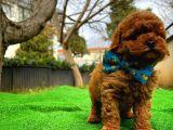 Irk ve saglık garantılı Red Toy Poodle yavrumuz