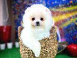 Çılgın Pomeranian Boo yavrumuz