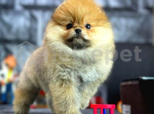 Irk ve sağlık garantili Pomeranian boo yavrularımız