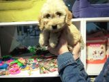 Bakanlık onaylı petshop mağazamızdan uygun fiyat Maltipoo yavrumuz