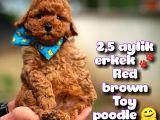 Toy Poodle Safkan Yavru Oğlumuz Çokonat / Yavrupatiler