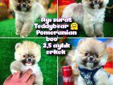 Ayı Surat TeddyBear Pomeranian Boo Oğlumuz Badem /Yavrupartiler