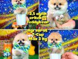 Safkan T-Cup Teddybear ayı surat Pomeranian oğlumuz CEVİZ / YAVRUPATİLER