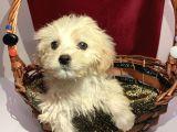 60 günlük 2 erkek 1 dişi maltese terrier yavruları