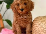 Minyatür kızıl renk erkek toy poodle yavru @catboyssss da