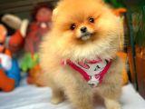 Çok Tatlı Oyuncu Pomeranian Boo yavrumuz