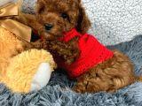 0-3 aylık Toy Poodle yavrularımız