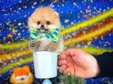 Mini boy Teddy Bear Surat Yarışma düzeyi pomeranian boo yavrumuz